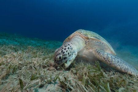 tortue verte: Femme tortue verte manger de l'herbe de mer