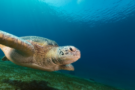 Female green turtle in the Red Sea photo