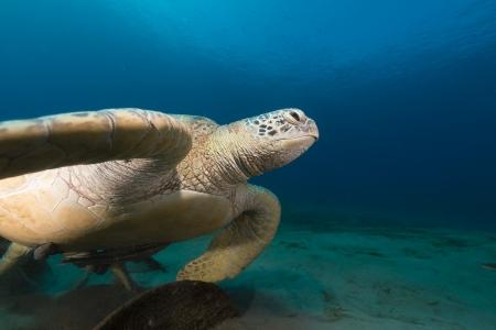tortue verte: Femme tortue verte dans la mer Rouge Banque d'images