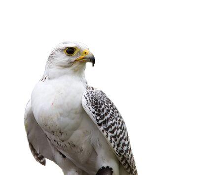 predatory: Prolile of White Falcon isolated