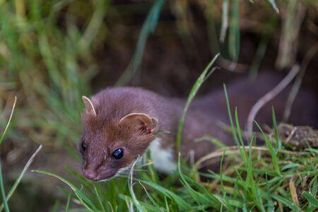 gronostaj: Weasel, polowanie na jedzenie Mustela nivalis