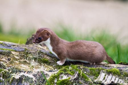 Weasel  Mustela nivalis  hunting for food photo