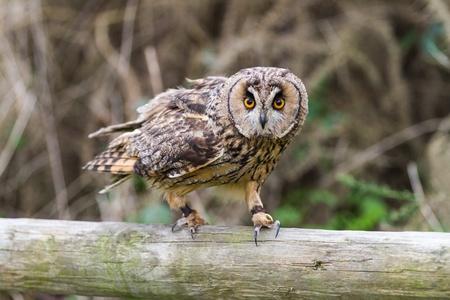 eared: Long Eared Owl  Strix otus    Stock Photo
