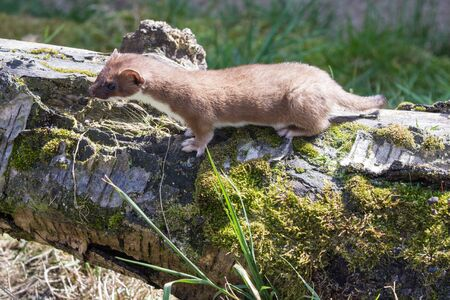 stoat: Stoat   Mustela erminea  standing on a log hunting for food Stock Photo