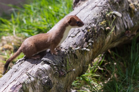 stoat: Stoat (Mustela erminea) standing on a log hunting for food Stock Photo