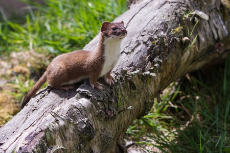 stoat: Stoat (Mustela erminea) standing on a log side profile