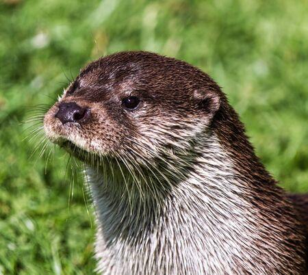 otter: European Otter , Lutra Lutra