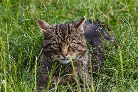 Scottish Wildcat sitting in grass on sunny day photo