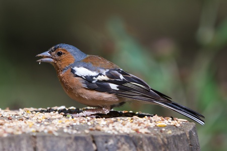 chaffinch, male, on tree trunk eating seed  Side profile  photo