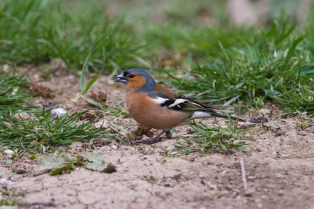 chaffinch, male, on ground eating seed. Side profile. photo