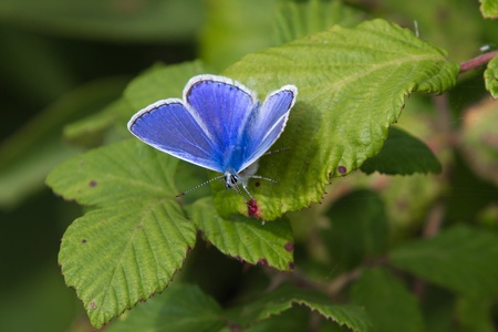 Common Blue Butterfly on leaf wings opened photo