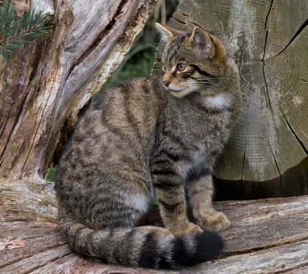 Scottish Widcat Kitten sitting on a Log photo