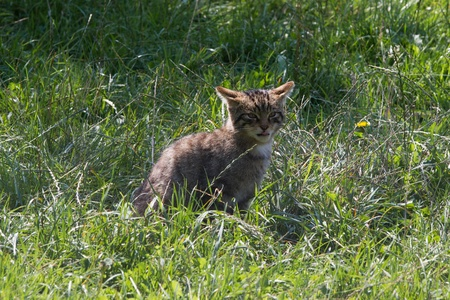 Scottish Widcat Kitten sitting in the grass photo
