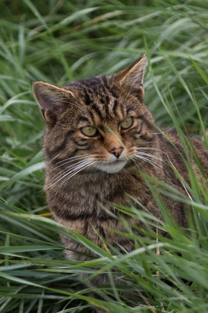 Scottish Widcat, close up of head in long grass photo