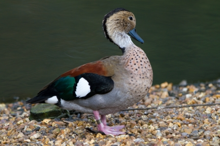 dabbling duck: Ringed Teal Duck Stock Photo