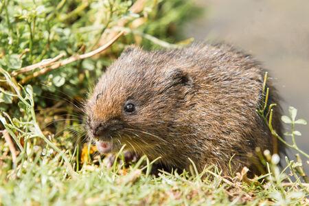 vole: Juvenile Woelrat op Gras Bank