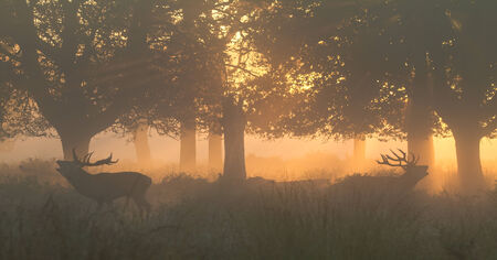 bellowing: Red Deer Stags bellowing in orange dawn light in woods