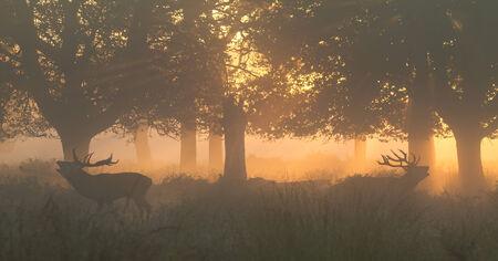 elaphus: Red Deer Stags bellowing in orange dawn light in woods