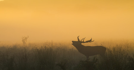 Red Deer Stag bellowing in orange dawn light with stag in background photo