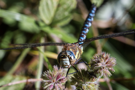 migrant: Migrant Hawker Dragonfly resting on plant in autumn