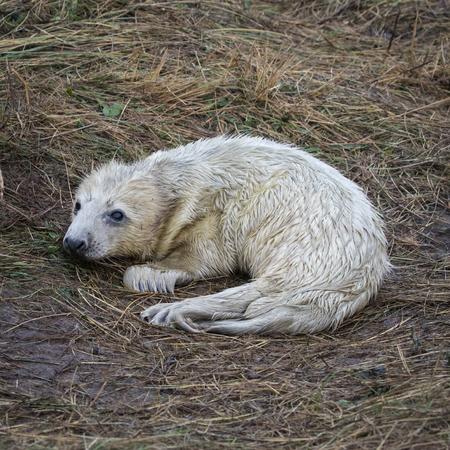 nook: Newborn Grey Seal Pup on Grass Dune. Donna Nook.