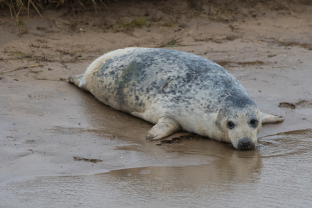 donna: Grey Seal on a Beach. In Winter. Donna Nook.