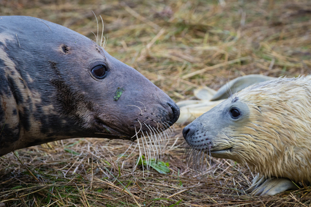 donna: Grey Seal Cow and Pup. On a Beach. Donna Nook.