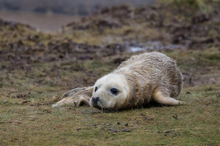 donna: Newborn Grey Seal Pup on Grass Dune. Donna Nook.