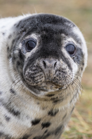 donna: Grey Seal on a Grass Dune. In Winter. Donna Nook. Stock Photo