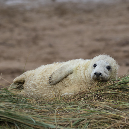 donna: Grey Seal Pup in Grass Dune. In Winter. Donna Nook. Stock Photo