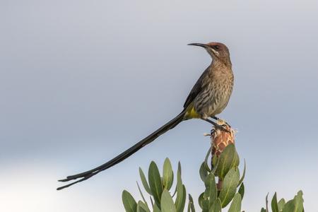 Adult Cape Sugarbird sitting on a protea.