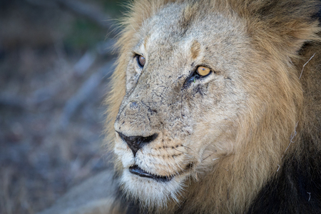 Portrait of a mature male lion (Panthera leo) with lots of character Stock Photo