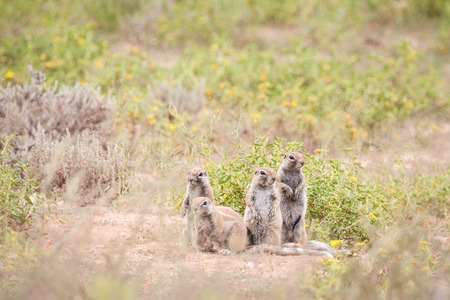 Adorable clan of ground squirrels sitting outside their burrow.