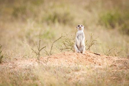 Cute little meerkat sittingin the sun outside its burrow