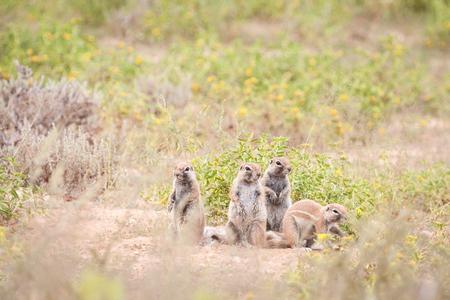 Cute Cape ground squirrels sitting outside their burrow.