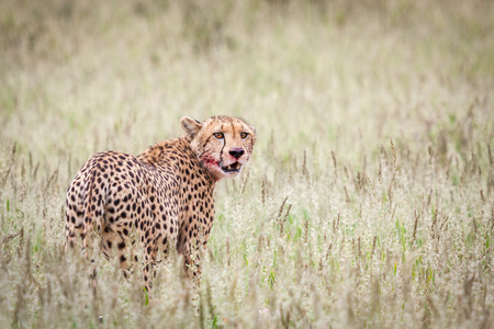 Beautiful male cheetah resting in green grass after successful hunt. Stock Photo
