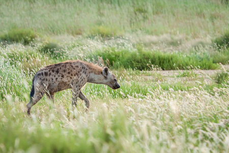 Adult spotted hyena patrolling in tall green grass scavenging for food.