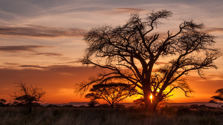 Magical sunrise on African plains with old and beautiful tree silhouetted against orange sky.