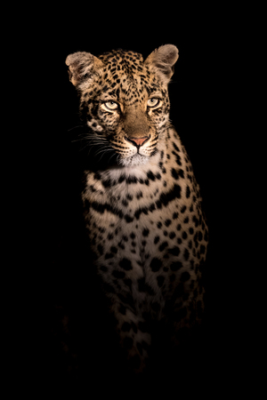 Adult female leopard in spotlight as seen on a night time safari drive. Stock Photo