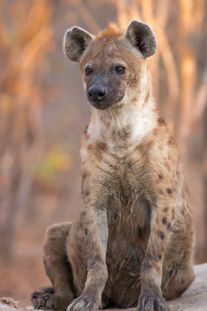 Spotted hyena sitting outside den on cold winters morning.