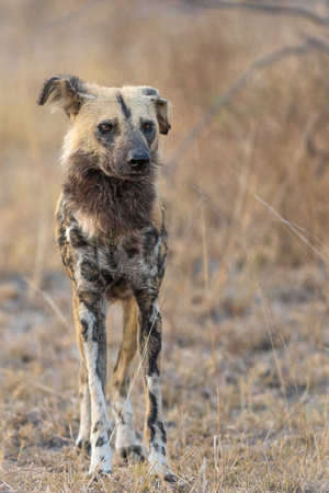 Single African wild dog scouting area for potential prey early in the morning.