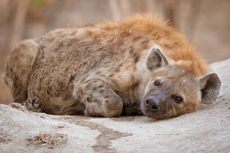 Very lazy spotted hyena laying on termite mound after a very good meal.
