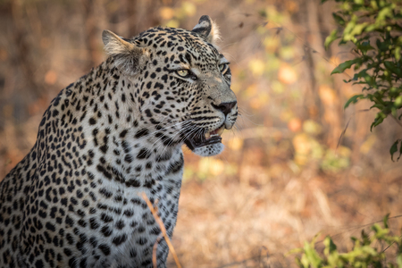 Beautiful male leopard scouting for potential prey on the African Savannah.