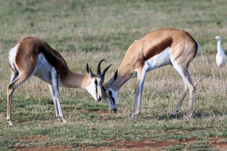 Two adult springbok play fighting on open grassland.