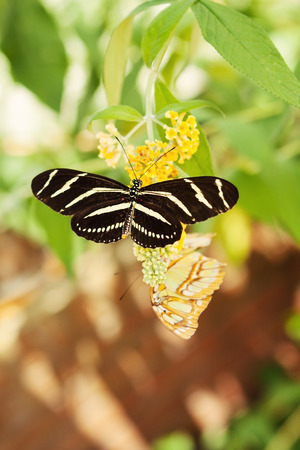 Black Butterfly rests on a flower