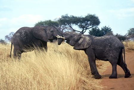 Elephants in Love in the Serengeti National Park,Tanzania Stock Photo - 5193151