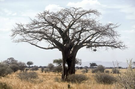 Lonely Baobab in the Tarangire National Park, Tanzania Stock Photo - 5334222