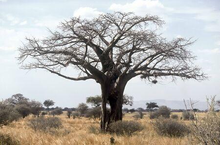 Lonely Baobab in the Tarangire National Park, Tanzania Stock Photo - 5334222