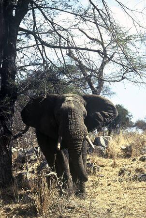 angry elephant: Angry Elephant in Tarangire National Park; Tanzania