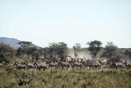 fleeing: Fleeing Herd at Serengeti National park,Tanzania Stock Photo